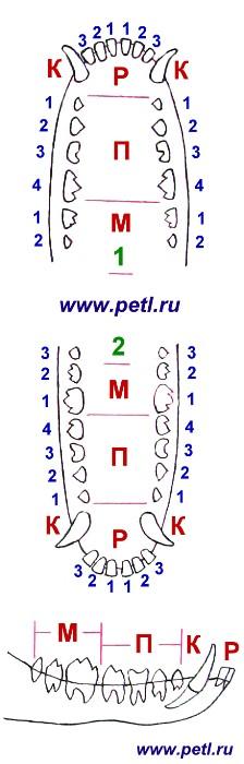Схема полного набора зубов собаки.  П - малые коренные зубы (премоляры).  К - клыки.
