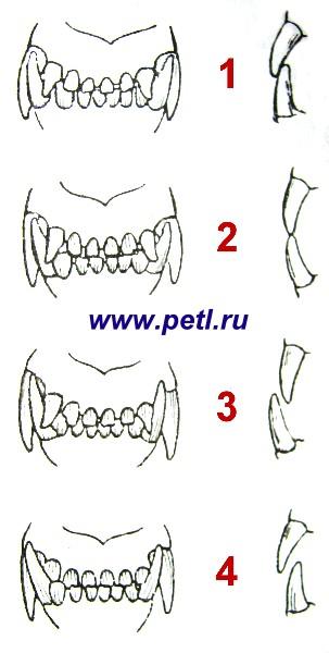 О зубах собаки - Мои статьи